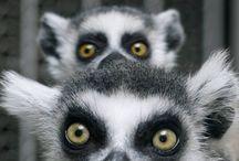 lemur love / by Alison Lee