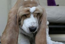 Basset hounds / by Jan Greene