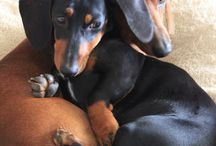 Dachshunds / by Quin Reaver Neumeyer