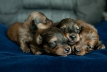 I Love Dachshunds! / by Cege Smith