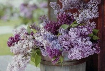 """""""When Lilacs Last in the Dooryard Bloom'd"""" / My favorite flowers are Lilacs and the board title comes from a Walt Whitman poem. Here are some beautiful blossoms & darling little birds! / by Miss Laurie of Old-Fashioned Charm"""