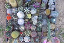 Gardening-Cactus And Succulents / by Denise Cranford Kearney