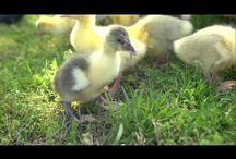 For the Geese & Ducks / by Anna Wilson