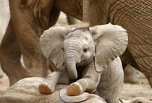 Ahh...Baby Elephants... / Photos of baby elephants that are cute to me / by Linda Nelson