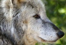 Wolf <3  / quotes of life :) <3 !!!!!!!!!!  / by Alexandra Bathrick