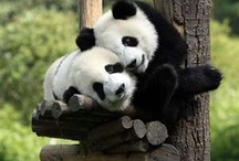For the Love of Pandas / by Renee Botello