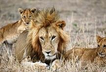 Safaris  / by isango!
