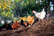 HOMESTEADING chickens,bees, bunnies, goats, ducks etc. / by Terri Peirce