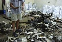 The Shark Trade / by Shark Defenders