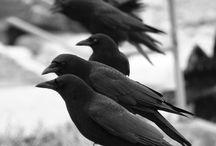 Crow / by Bird B Gone, Inc.