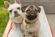 Pugs and Frenchies / by Melody