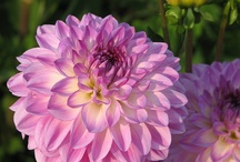 Dahlias For Me / by Terri Altherr