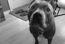 Pitbulls - Blue Pitbull / Alba (blue) & RIP Deuce (red nose) / by Brooke Toler Belote