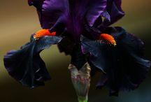 Iris's I want / by Brenda Stoppler