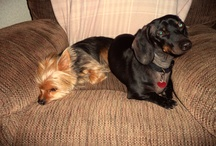 Yorkies, Doxies & Labs / Yorkies, Doxies and Labs / by Tina Dombrowski