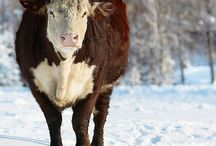 I love Cows!!! / by Pam Stamper