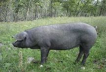 Know-How: Livestock & Animals / by Matt Smith