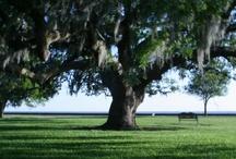 Oak trees and leaves / by Maureen Garvey