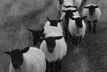 Sheep or goats / by Wanda Wright