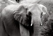 Everything ELEPHANTS / Elephants are my totems... I know somewhere in my past I was close to elephants and worked with them.  LOVE ELEPHANTS.  / by Christine B Morris