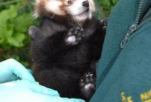 Red Pandas!!!!!!!! / by Jennifer Denning