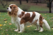 All Things Cavalier / Dedicated to the four Cavaliers who share my home and my heart.  Stuart, Flora, Huett and Laurel. / by Anglicanmom <3