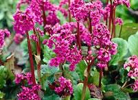 Kevät 2013 perennat - Spring 2013 Perennials / Perennoja kevätvalikoimastamme - Some perennials from our spring collection / by Viherpeukalot.fi