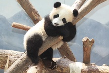 Panda Bears / by Ashley Marhanka