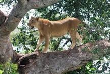 Wildlife / Various photographs of wildlife around our wildlife safaris in Uganda and Rwanda.  / by Volcanoes Safaris