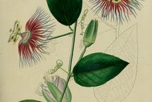 Flowering Vine Illustrations / Illustrations of climbing, flowering vines from the 17th, 18th, 19th, and early 20th centuries. All images are in the public domain. Click the right button your mouse to download and use how you choose. / by Swallowtail Garden Seeds