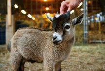 goats / by Anna Nyszczy