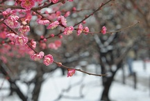 Cherry Blossoms / by Reni Tamayo