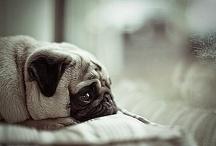 Pugs <3 / by Kaytee