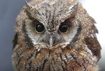 Animals-Birds-Owls #2 / My totem bird. / by Ellary Branden