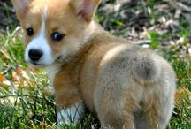 For Us - Corgi Love  / by Shaundra Wright*
