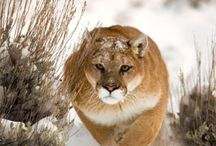 Cougars / by Mary Ayer-Couger