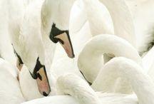 Ducks and Swans  / by Talas Seirafi