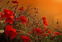 Poppies / by Brenda Scheuer