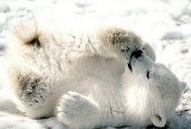 Polaroids of polar bears / by Caitlin O'Connor