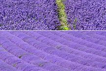 Lavender  / by Ken Day