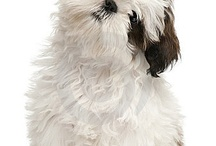 Sweet Shih Tzu / by Shirley Cole-Georgeson
