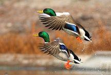 Ducks / by Always Crafting