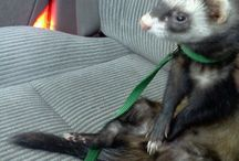 ferret family / by Sara Shanks