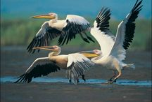 Pelicans / by Eve Hogue