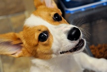 Corgi - LICIOUS! / Corgis in all their WONDERFULNESS! / by Daily Corgi