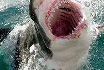 shark / by Theresa Clark