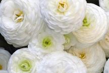 White Flowers / by Anita Crisp