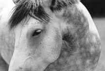 Grey Dapple Percheron Horses / by Melanie Rebane Photography
