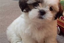 I love Shih Tzus / by Rebekah Holyfield