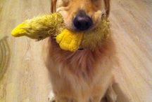 Goldens!!! / by Kimberly Dixon-Mayoh